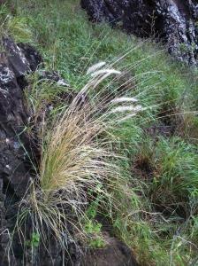 B1_DPW_Invasive-Species-Week_Fountain-Grass_w